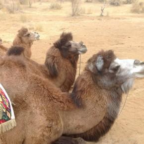 Наши верблюдики
